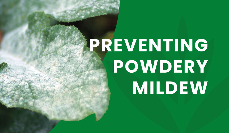 Learning from the Dutch: Preventing Powdery Mildew