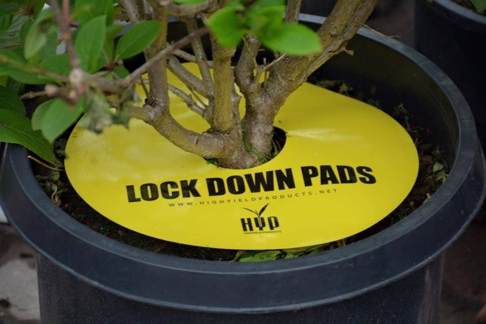 lock down pad plant